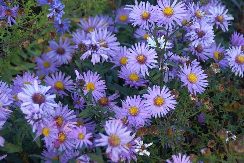 Aster laeve 'Glow in the Dark'