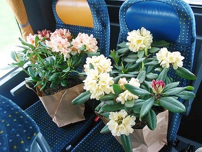 Rhododendren on tour