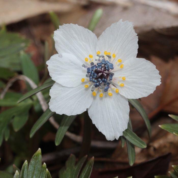 Eranthis pinnatifida